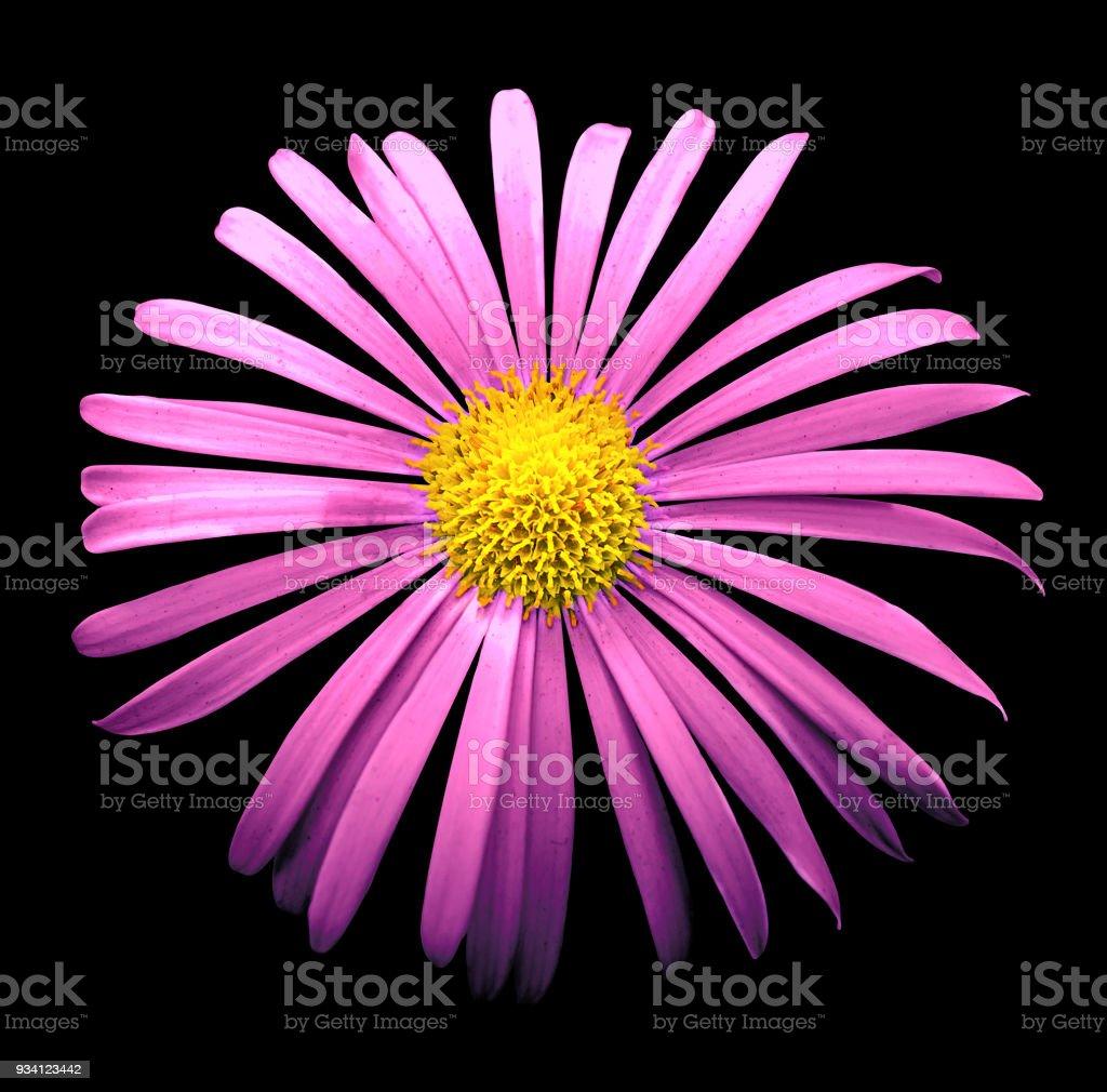 Macro De Fleur De Chrysantheme Exotique Rose Naturel Isole Sur Fond