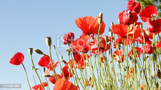 Natural red poppies of the field with big petals that inspire the spring and the outdoors
