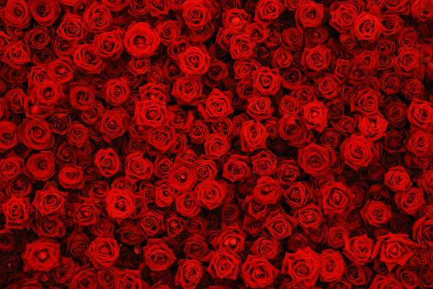 Natural red roses background flowers wall picture id955030636?b=1&k=6&m=955030636&s=612x612&w=0&h=8vniyzmaqt ktfdeasggat5pgnd0sidd1apmw3dq4ks=