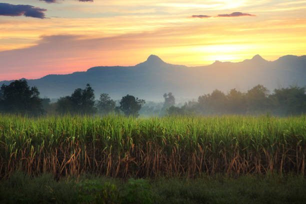 natural scenery of sugar cane field and mountain during sunrise at kanchanaburi province in thailand - canna da zucchero foto e immagini stock