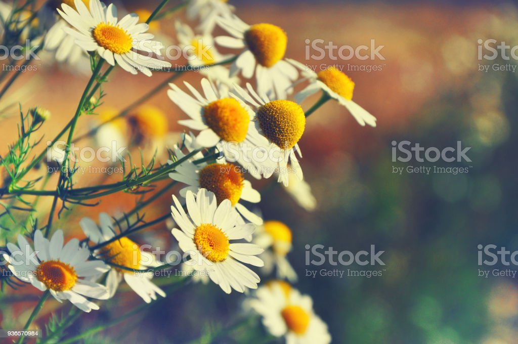 Natural seasonal background.Awakening of nature. Spring time concept. Beautiful daisies in sunlight with blurred background and bokeh.Outdoor