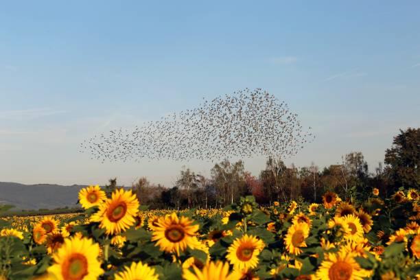 Naturschauspiel Flug der Stare – Foto
