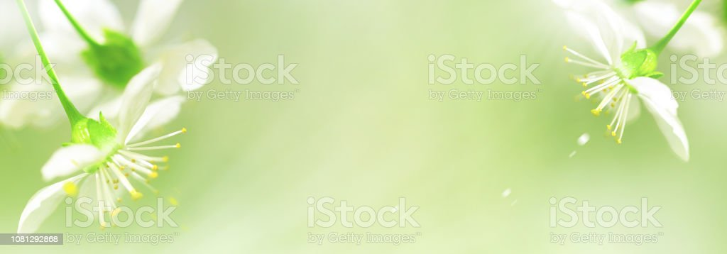 Natural Spring Background White Cherry Flowers On A Delicate Green Background Free Copy Space Artistic Spring Summer Image Banner Design Stock Photo Download Image Now Istock