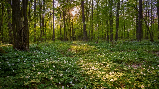 Natural spring forest with blooming anemone flowers