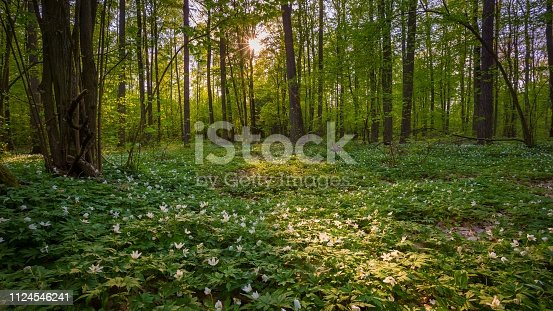 Natural spring forest with blooming anemone flowers. Polish spring landscape.