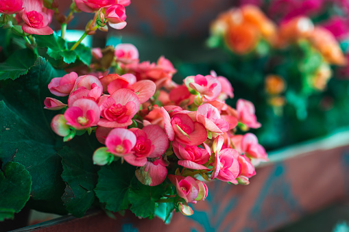 Natural spring image pink Begonia flower in flowerpot. . High quality photo