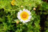 Foreground Chrysantemum sp. natural flowering