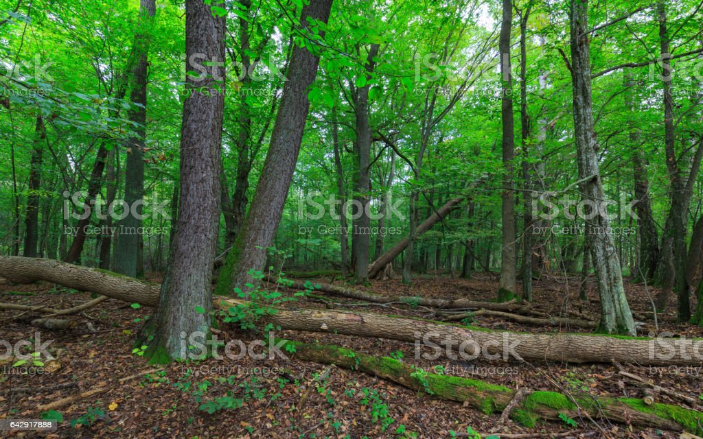 Natural stand of Bialowieza Forest in morning stock photo