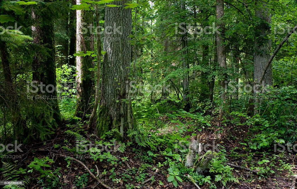 Natural stand of Bialowieza forest Landscape Reserve stock photo