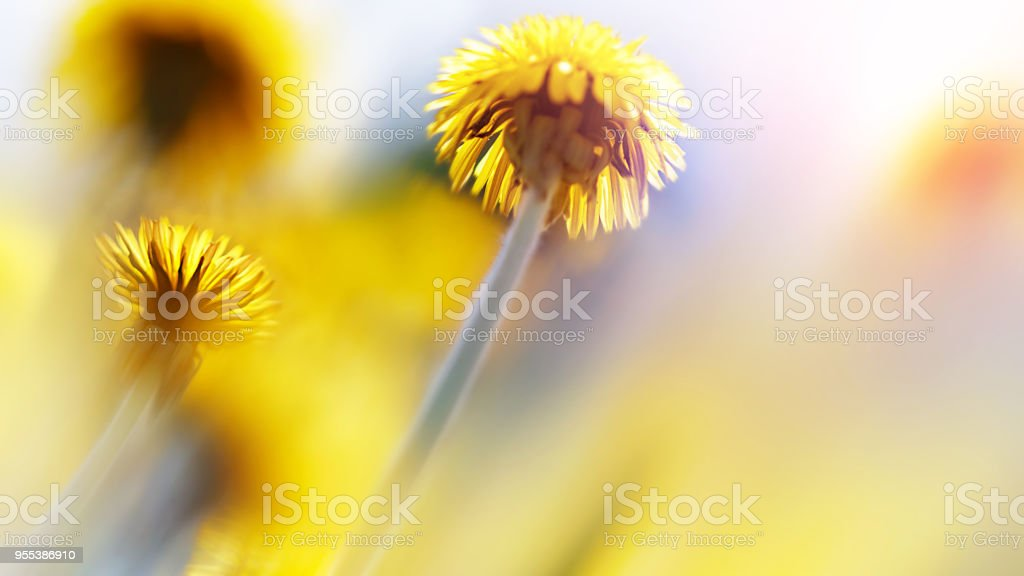 Natural summer background. Beautiful yellow dandelions in the sunlight. Artistic macro image. - Zbiór zdjęć royalty-free (Bez ludzi)