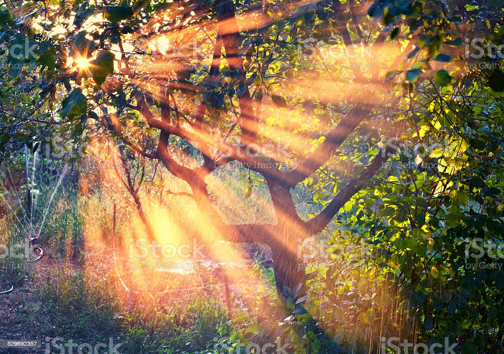 Natural sun rays in the garden at sunset stock photo