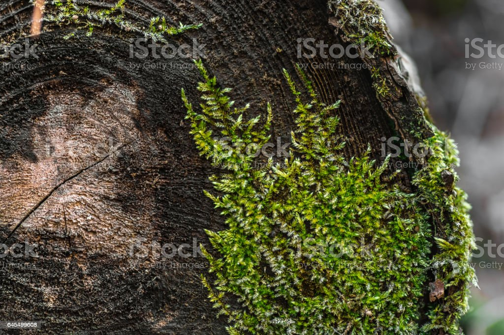 Natural texture. Moss growing on a cut tree stock photo