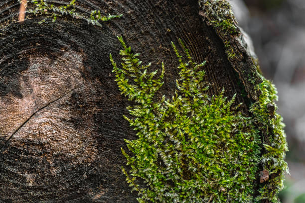 natural texture. moss growing on a cut tree - moss stock photos and pictures