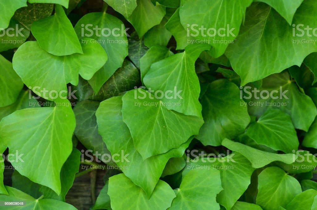Textura natural de la hoja verde. Fondo, papel pintado - Foto de stock de Agua libre de derechos