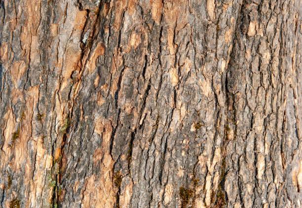 Natürliche Textur der Ahornbaumrinde – Foto