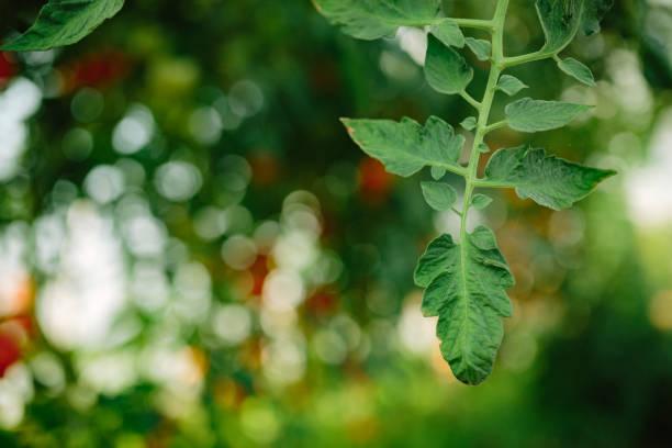 Natural tomato greenhouse, blurred image. stock photo