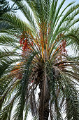Natural vertical texture with Phoenix palm foliage and fruit. Tropical tree trunk with dark green pinnate leaves and orange berries