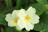 Beautiful primrose flowers with leaves covered in dew