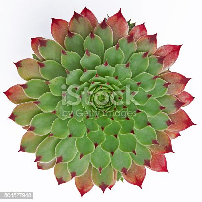 Succulent plant ( Jovibarba hirta ) isolated against a white background