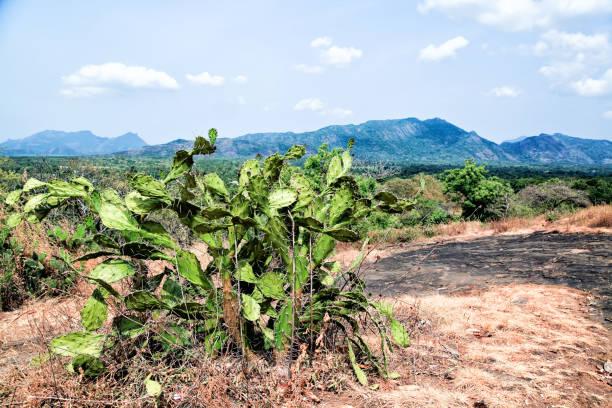 supuesto crecimiento de cactus en sri lanka - opuntia robusta fotografías e imágenes de stock