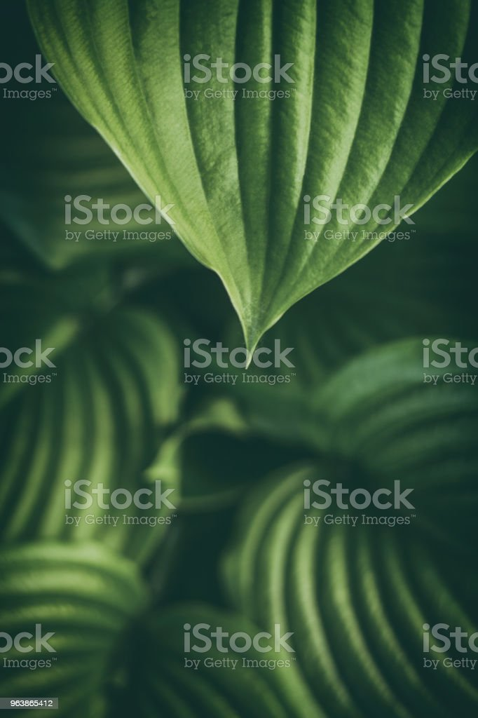 Nature abstract background.The texture of the host leaf is close-up, with a small depth of shalow. Modern art, can be used as a poster for interior design - Royalty-free Beauty Stock Photo