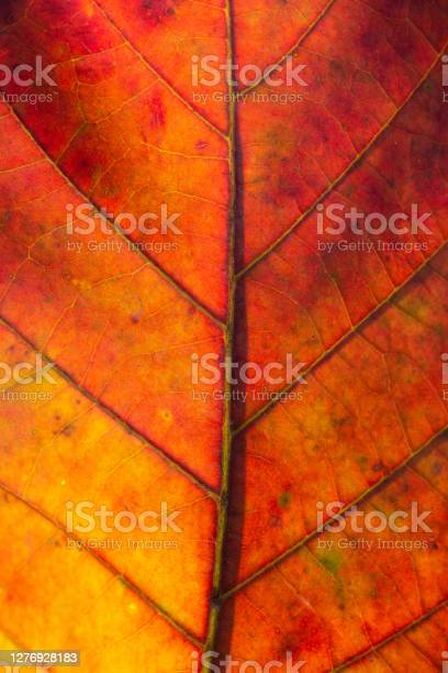 Photo of Nature Abstract: Cells and Veins of a Colorful Autumn Leaf