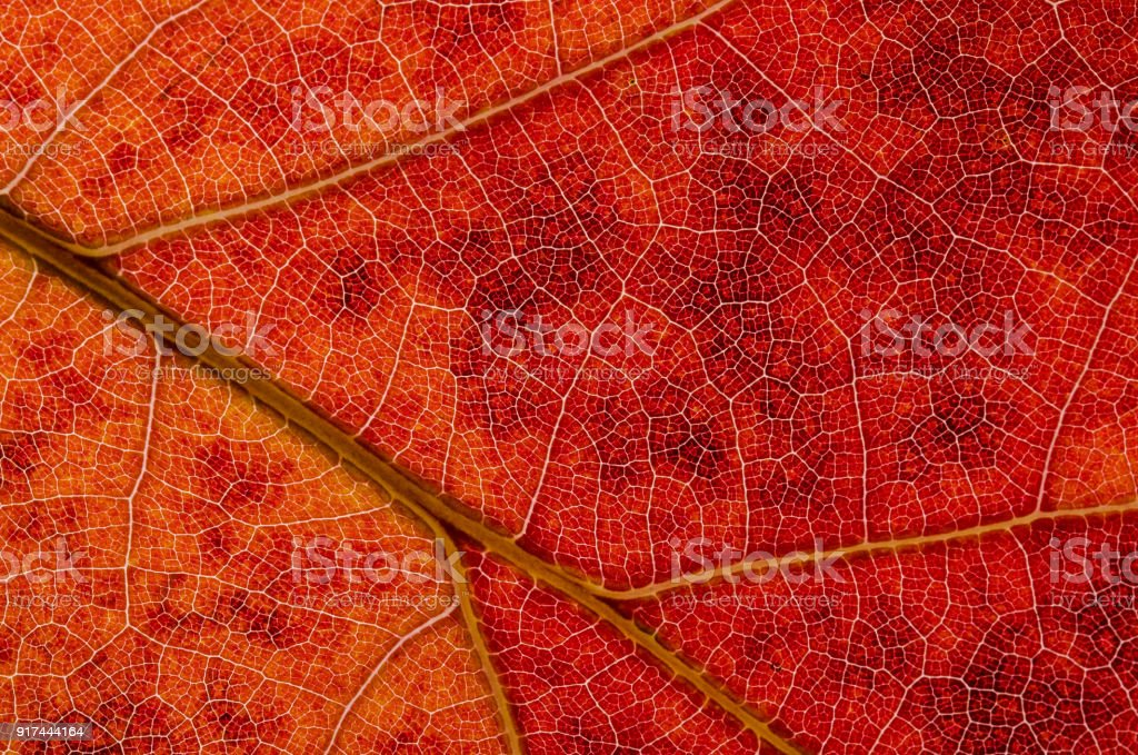 Nature Abstract: Cells and Veins of a Colorful Autumn Leaf stock photo