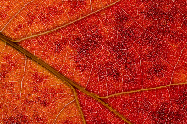 Nature Abstract: Cells and Veins of a Colorful Autumn Leaf Nature Abstract: Cells and Veins of a Colorful Autumn Leaf autumn leaf color stock pictures, royalty-free photos & images