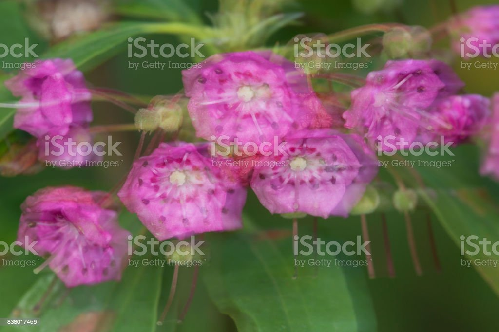 Nature abstract of bog laurel flowers in New Hampshire. stock photo