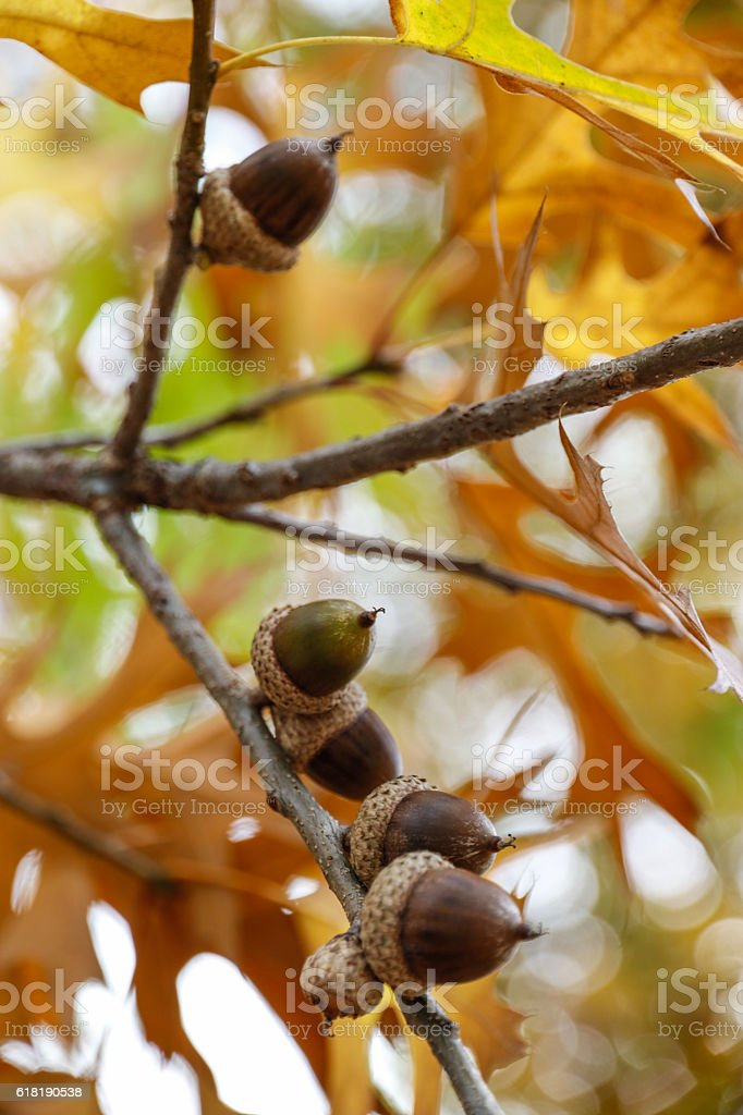 Nature: Acorns in the fall stock photo