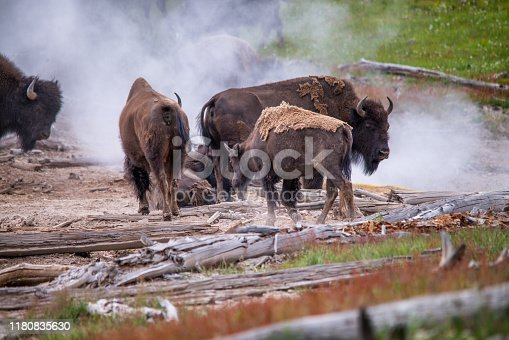 Nature and wildlife. Bisons and geysers at Yellowston National Park. Wyoming. USA.