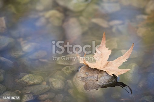 Flora at autumn. Yellow leaf of a Platanus (plane) tree on river's stone surrounded by spring water at fall season.