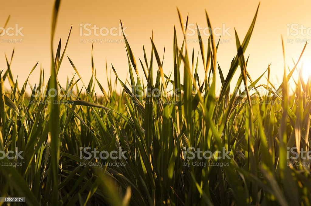 Nature Background - grass at sunset royalty-free stock photo