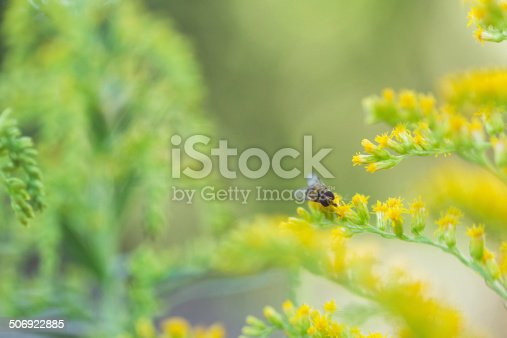 Nature Background - Hover Fly (Syrphid) on Garden Flowers