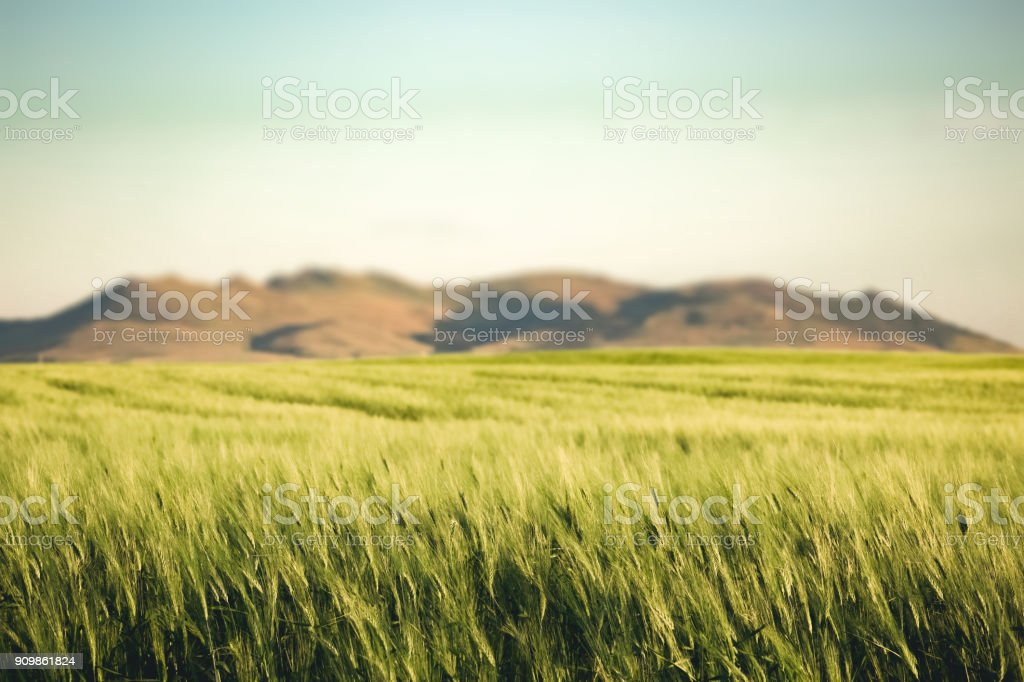 Nature background - Montana scenic landscape with green wheat field in foreground stock photo