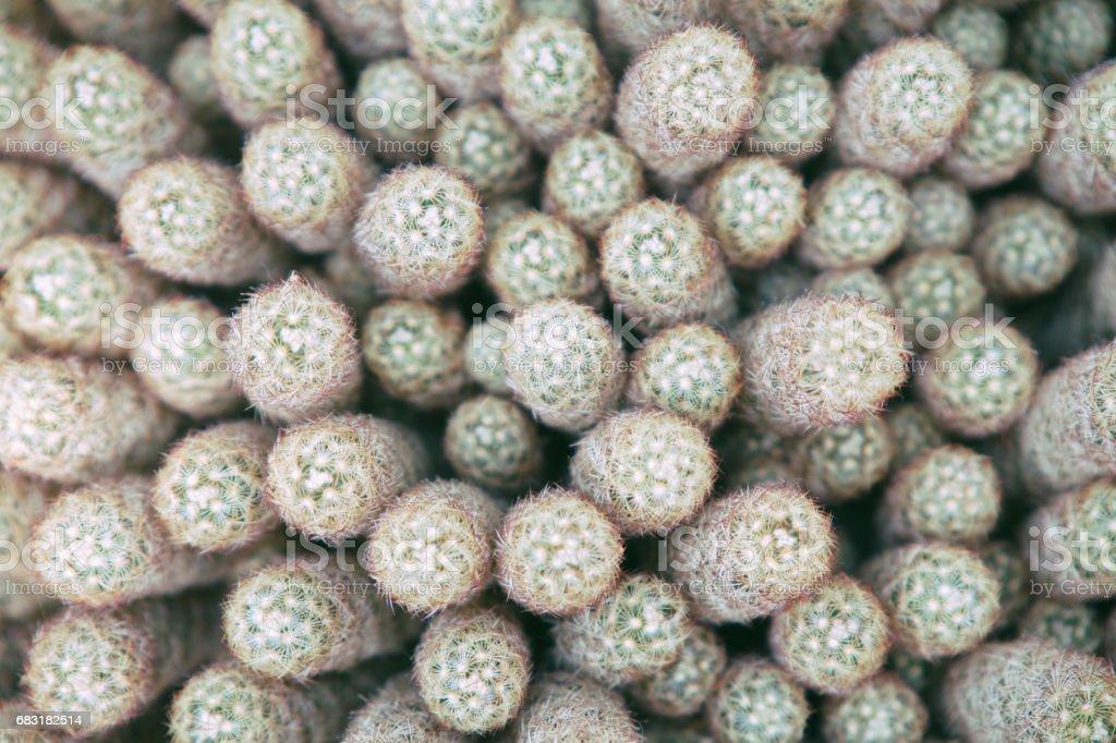 Nature background of cacti 免版稅 stock photo