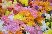 Nature background of vibrant colored spring Tulip flowers in horizontal frame