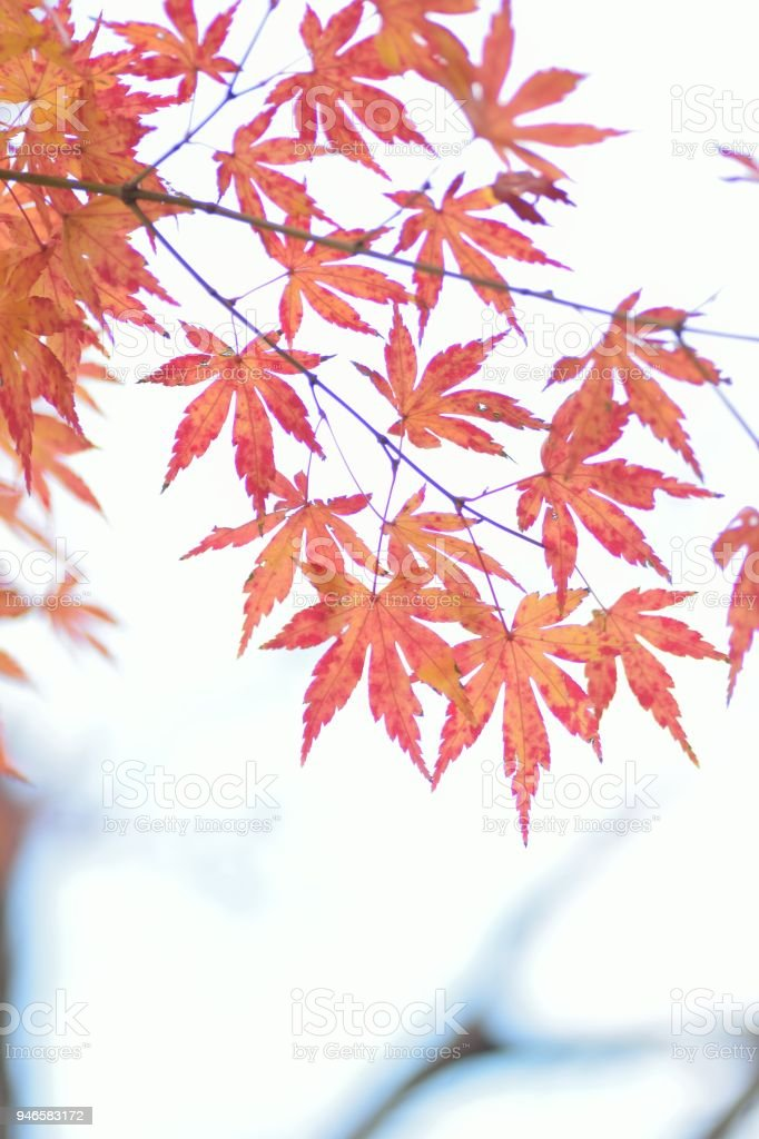 Nature background of vivid Japanese Autumn Maple leaves in vertical...