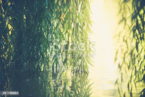 Nature background of green leafy willow branch vines reflected in the water they overhang. Golden sunlight streams through an opening in the foliage. No people in image. High resolution color photograph with copy space and horizontal composition.