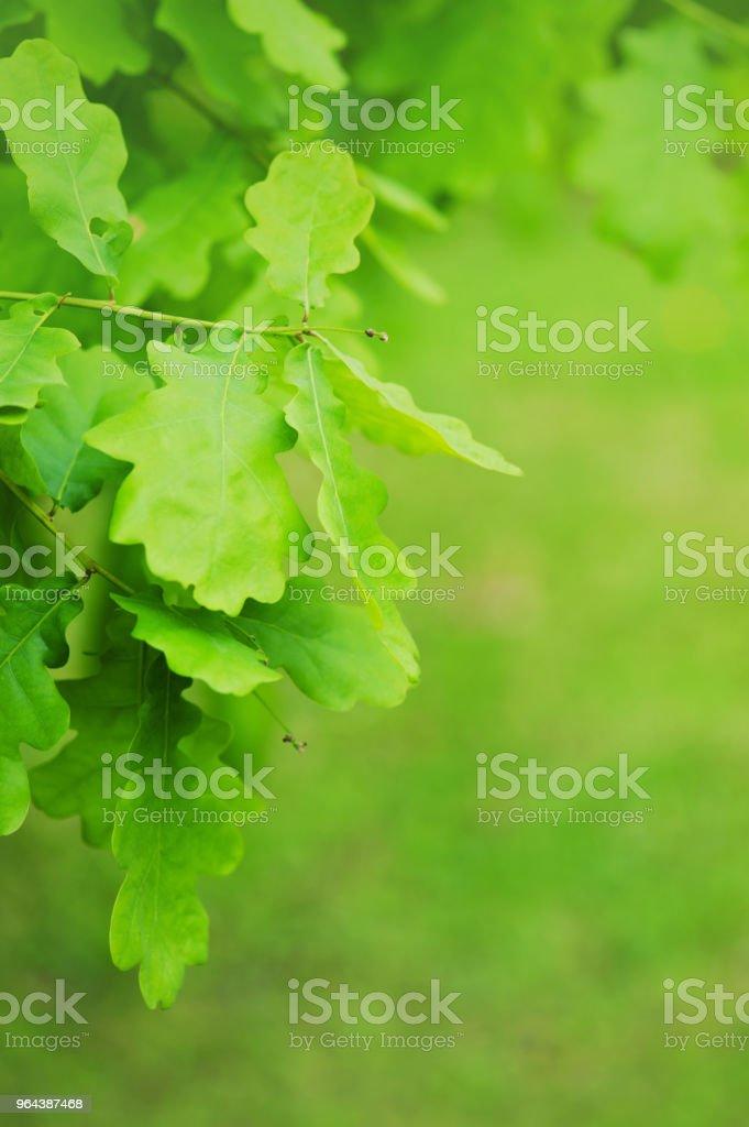 Fundo de natureza com ramo de carvalho - Foto de stock de Carvalhal royalty-free