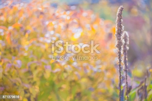 Tall and spiky liatris flowers in autumn flower garden. Blooms have faded and the blossoms are dried. Pretty bokeh in background.