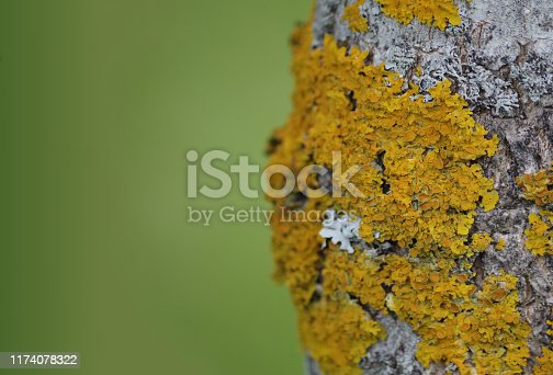 A natural background with yellow lichen on a tree trunk. Free space for text with a natural background bokeh. An area with a green natural background bokeh and yellow moss right.