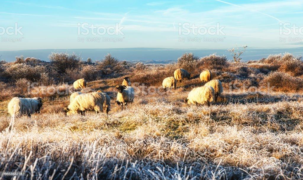 Nature Backgrounds, Dutch Coastal Area with Scottish Blackface Sheep stock photo