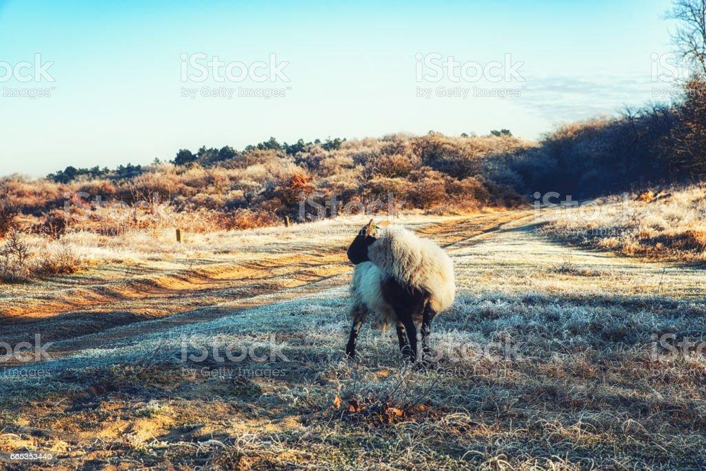 Nature Backgrounds, Scottish Blackface Sheep stock photo