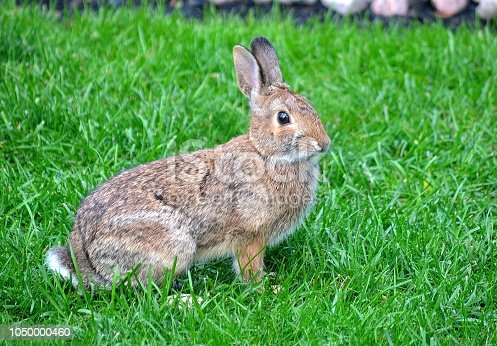 Nature...This beautiful close up shot, shows a wild rabbit sitting in a suburban back yard.