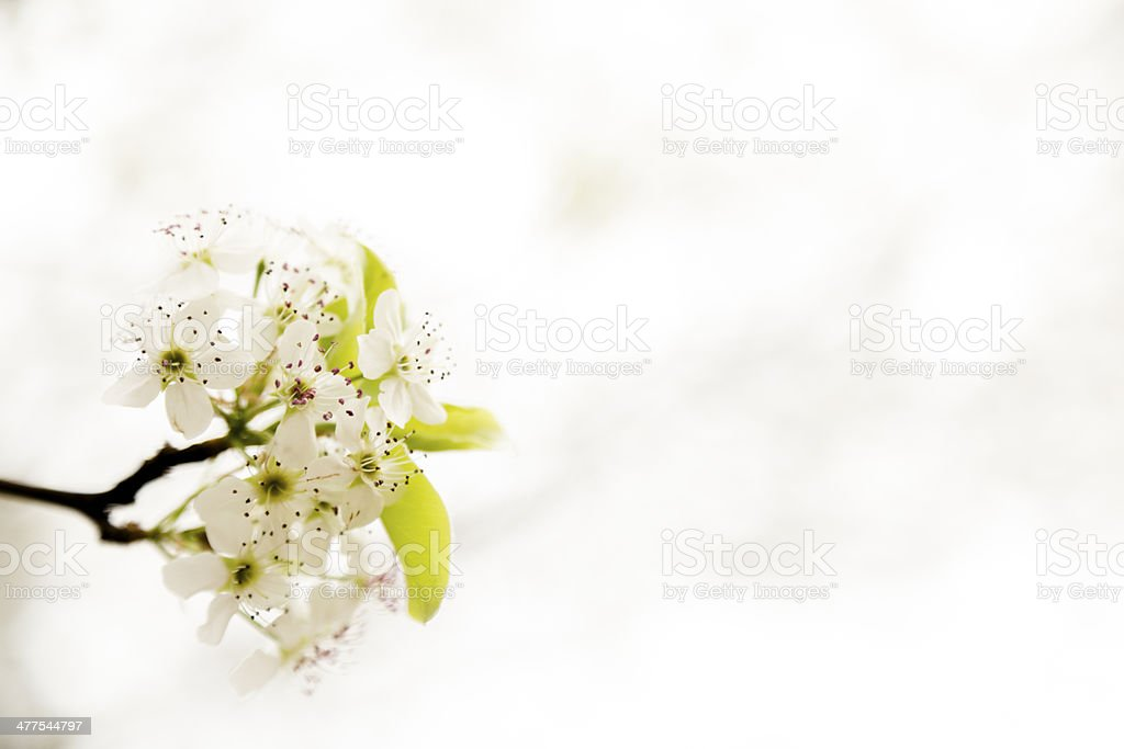 Nature: Bradford pear tree blossoms in spring. stock photo