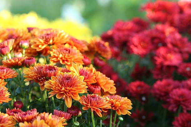 Nature: Chrysanthemum stock photo