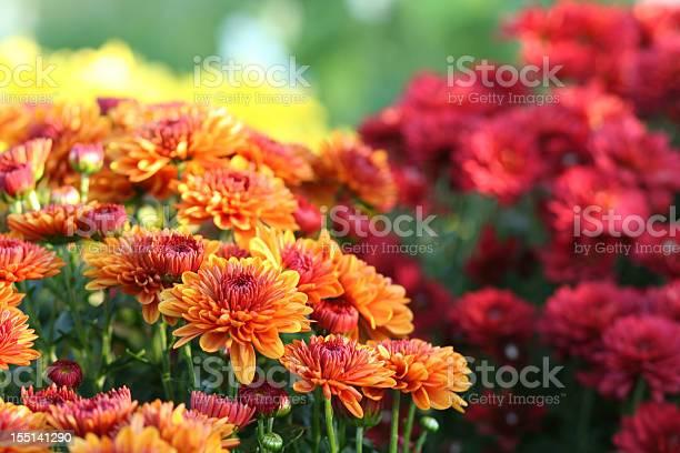 Photo of Nature: Chrysanthemum