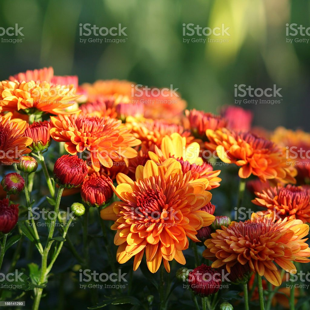 Nature: Chrysanthemum stock photo