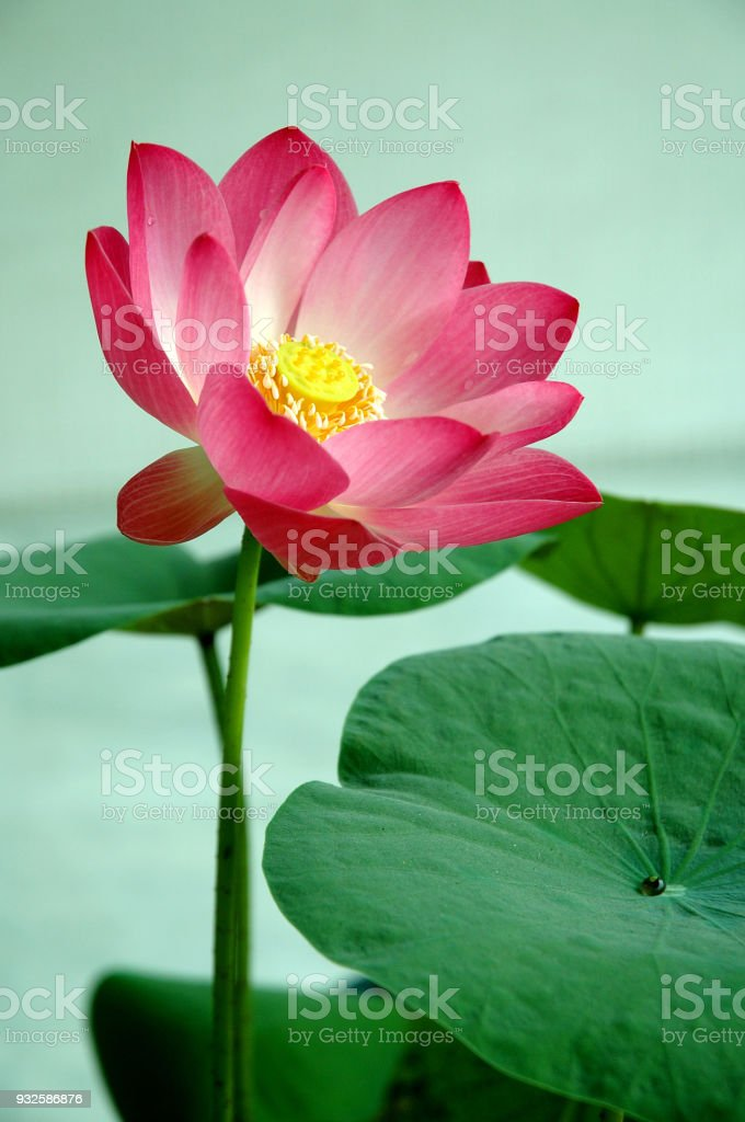 Nature Colour Lotus In Forest Pool Lotus Flowers Is Good Meaning For